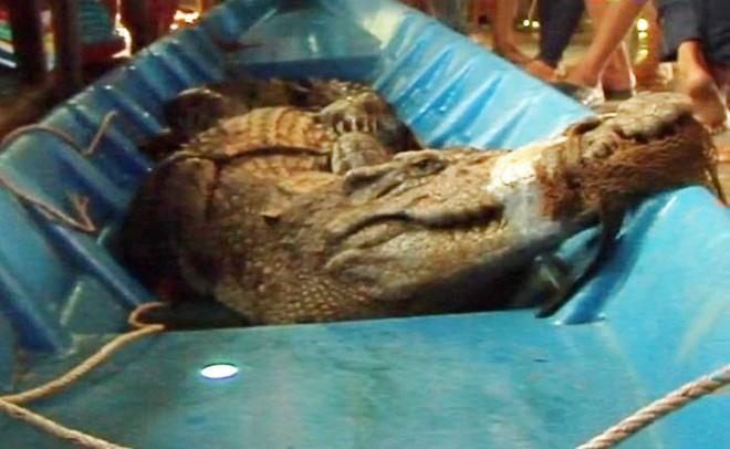 Cá sấu 2,2 m bắt dưới vuông tôm bán được hơn 4 triệu đồng